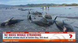 416 baleines échouées en Nouvelle-Zélande, des volontaires tentent de secourir les rares