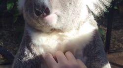 Ce koala est en train de vivre l'instant