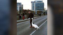 Cet Irlandais croise un cygne en pleine rue et l'aide à retrouver son milieu