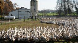Face à l'épidémie de grippe aviaire, les 600.000 canards des Landes vont être