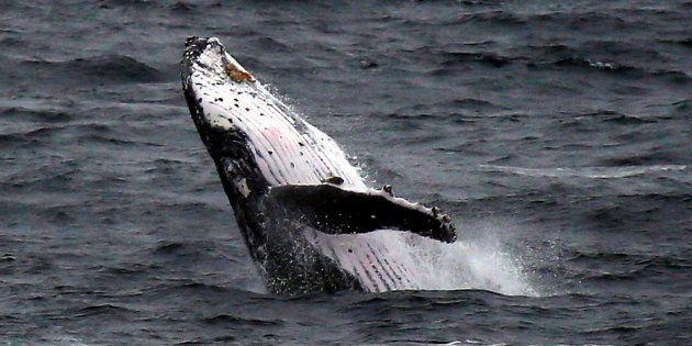 Les pays chasseurs de baleines refusent un sanctuaire dans