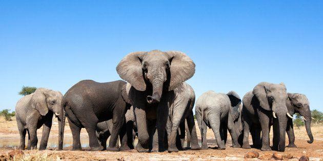 Ces éléphants existeront-ils encore dans quelques