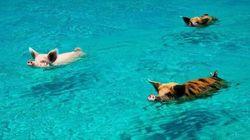 Plusieurs des fameux cochons nageurs des Bahamas sont morts, le mystère est