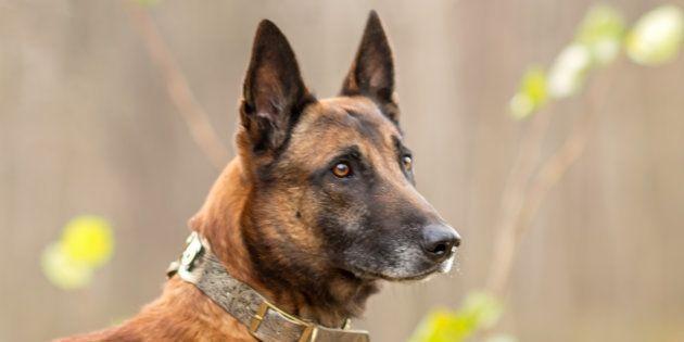 Les deux chiens renifleurs de cancer ont passé avec succès le premier test. Une prochaine étude clinique...