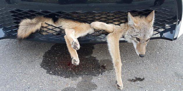 La photo est impressionnante mais ce coyote est sorti sain et sauf d'un accident sur