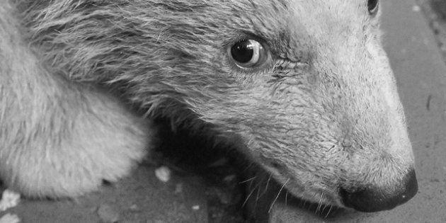 L'ours polaire Fritz était censé marcher dans les traces de Knut, la précédente vedette du zoo de