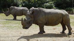 Un rhinocéros du zoo de Thoiry abattu par des