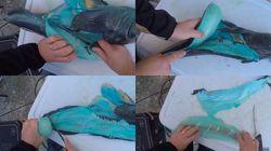 Ce poisson bleu ne s'est échappé ni de Tchernobyl ni du village des