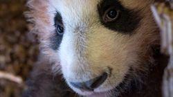 Le bébé panda du zoo deBeauvala fait sa première sortie