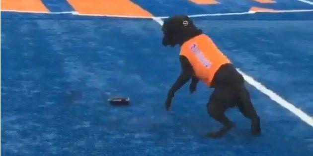Les Boise State Broncos utilisent un chien ramasseur
