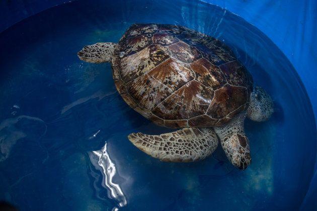 Omsin a réussi à nagé quelques jours après son