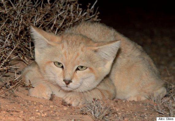 Pour la première fois, des chercheurs sont parvenus à filmer des chatons du