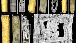 Cette plante fossilisée est de loin la plus vieille jamais