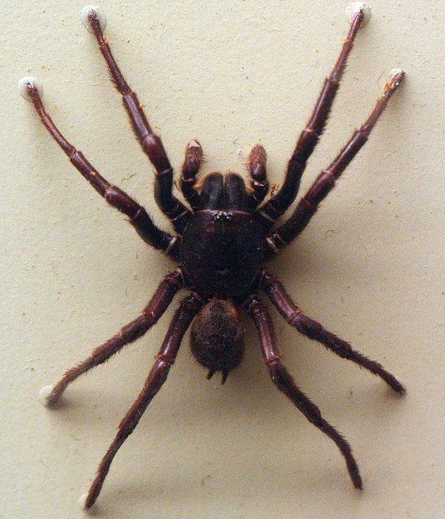 Une araignée Hadronyche