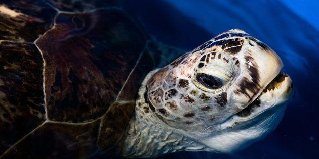 En théorie, la tortue marine aurait dû vivre encore une soixantaine