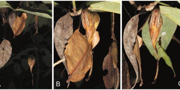Dites bonjour à cette espèce du genre des poltys et de la famille des Araneidae. Bref, une