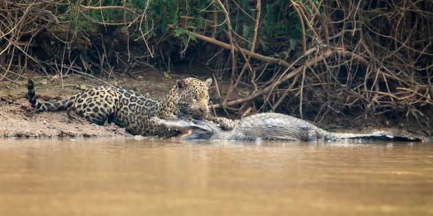 Ce jaguar n'a laissé aucune chance au