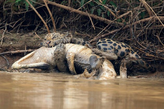 Ce jaguar n'a laissé aucune chance à ce