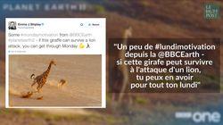 Cette girafe qui envoie valser une lionne affamée a remonté le moral des