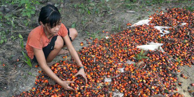 Une jeune Indonésienne travaillant dans une plantation d'huile de palme, en septembre 2015.