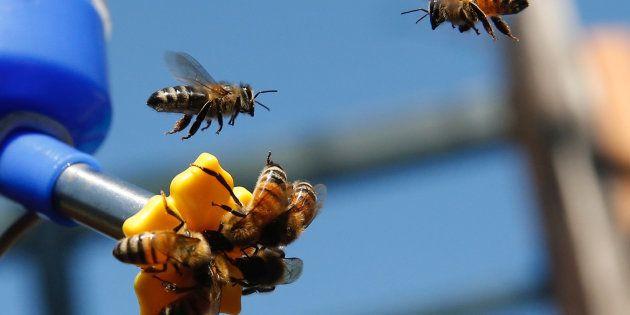 75% du miel mondial contient des pesticides qui déciment les abeilles (des abeilles atterrissent sur une mangeoire à abeilles dans un jardin public de Santiago, au Chili)