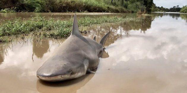 Un requin-bouledogue resté dans une rue de la ville de Burdekin après le passage du cyclone Debbie le...