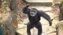 Un chimpanzé jette ses excréments sur les visiteurs et vise en plein dans le