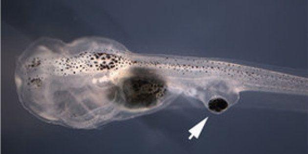 On a implanté des yeux sur la queue de têtards qui ont réussi à se raccorder à la moelle