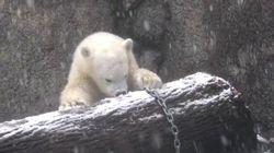 Cette jeune ourse polaire découvre la neige pour la première fois et c'est