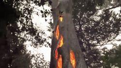 Atteint par les incendies en Californie, cet arbre ne brûle que de