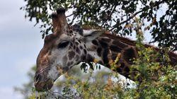 La girafe fait maintenant officiellement partie des espèces