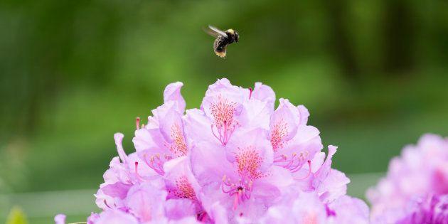 En 30 ans, environ 80% des insectes volants auraient disparu en Europe