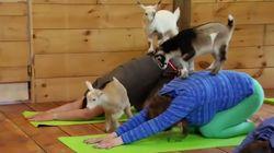Découvrez le yoga avec chèvres, bien plus cool que