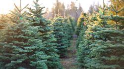 Acheter un (vrai) sapin de Noël, un geste bon pour la nature et
