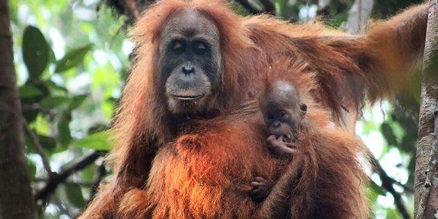 Le Tapanuli, la nouvelle espèce d'orang-outan découverte en