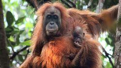 Une nouvelle espèce d'orang-outan découverte en