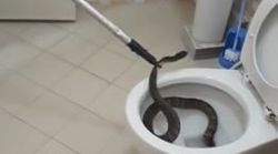 Ils extraient un énorme serpent récalcitrant des
