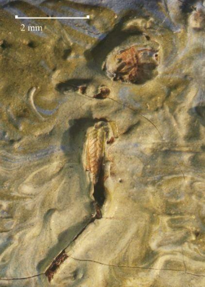 Une sauterelle morte découverte dans un Van Gogh, 126 ans après sa