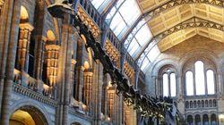 Le diplodocus du musée d'histoire naturelle de Londres cède sa
