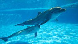 Les dauphins sauvages sont plus malades que ceux en