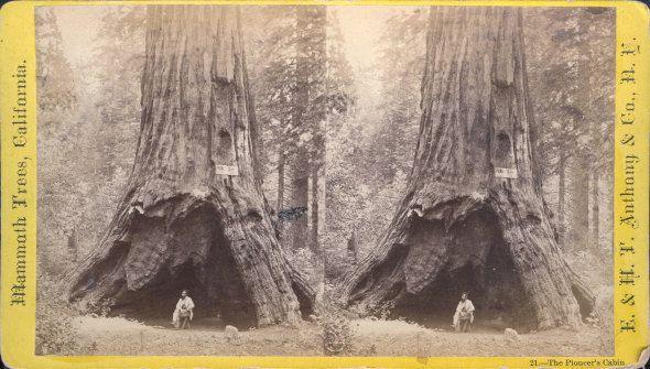 Un homme pose dans le Pioneer's Cabin Tree sur une photo datant du 19e