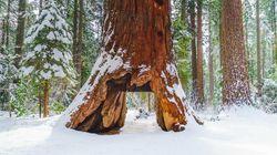 Cet arbre légendaire de Californie n'a pas survécu à la dernière