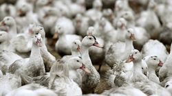 Après trois semaines de chômage technique, les éleveurs de canards peuvent reprendre le