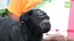 Naissance d'une chèvre cyclope en