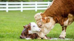 BLOG - Renoncer aux produits laitiers, c'est épargner les vaches qui sont aussi des