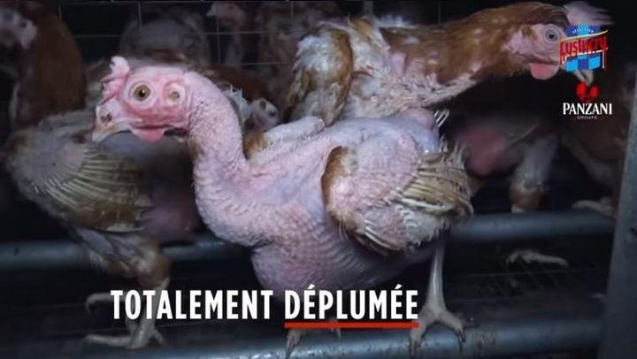 Capture d'écran de la vidéo de L214 sur une élevage de poules en Vendée.