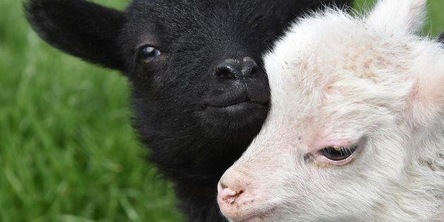 Grâce à ce logiciel, les éleveurs pourront prendre plus rapidement en charge un mouton souffrant.