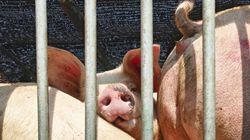 Des traitements barbares réservés aux animaux des