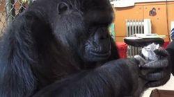 Ce gorille a eu le plus adorable des cadeaux pour son
