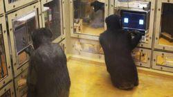 Les chimpanzés battent les humains à plate couture à ce